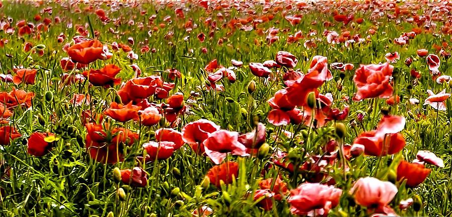 The Poppy Field Photograph