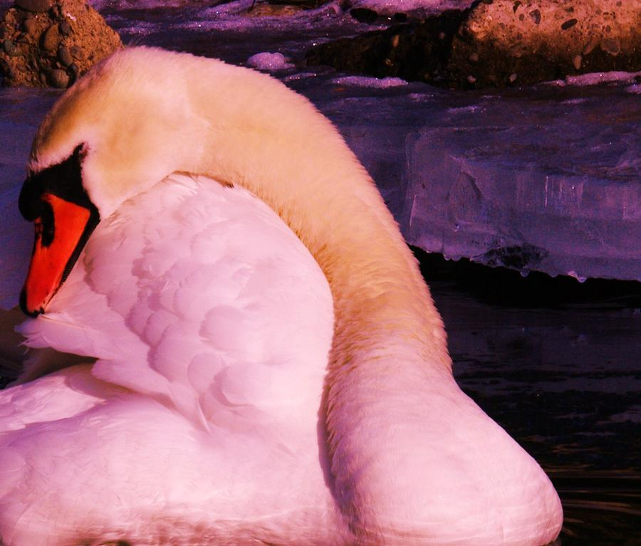 Swans Photograph - The Preening Swan by Jeff Swan