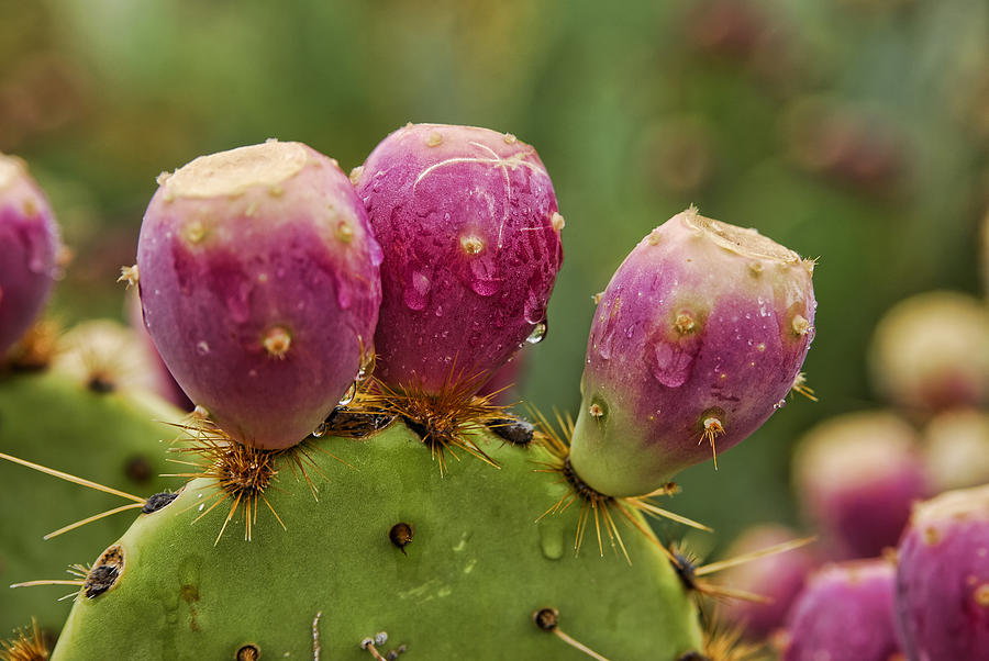 Prickly Pear Cactus Photograph - The Prickly Pear  by Saija  Lehtonen