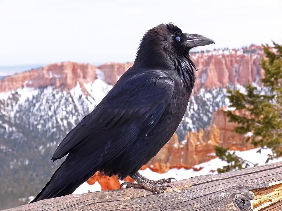 The Raven Photograph
