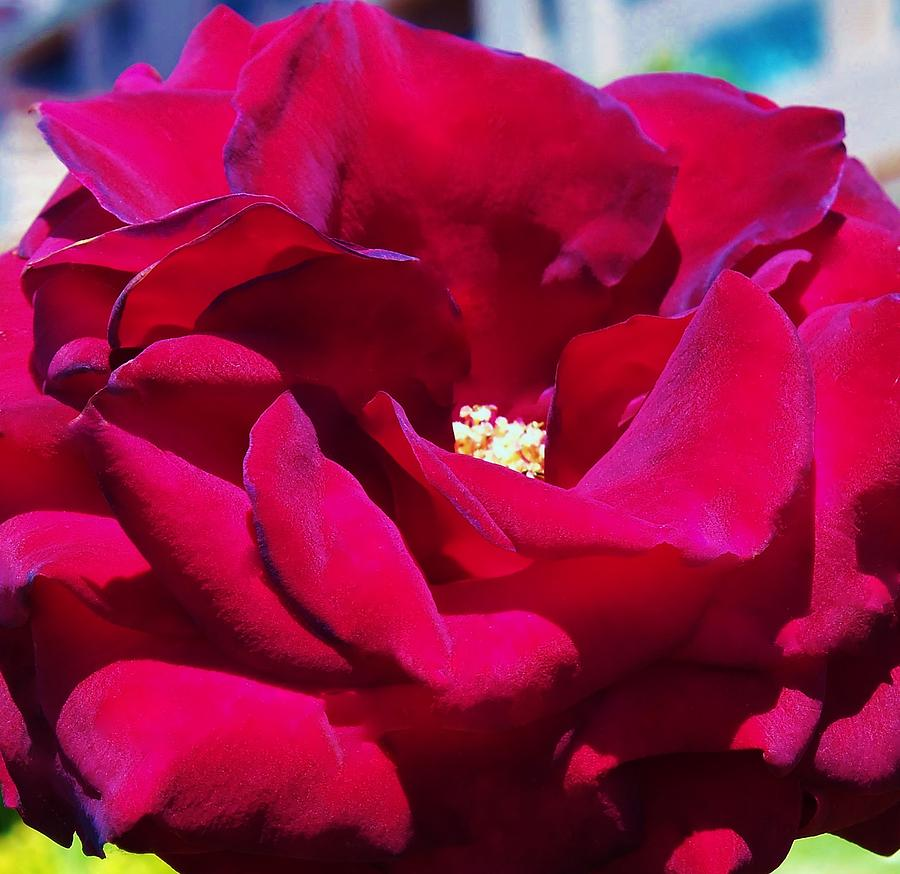 The Red Velvet Rose Photograph