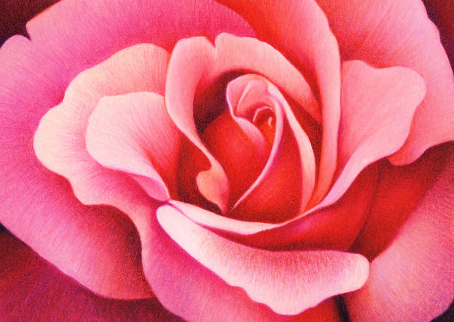 The Rose Drawing  - The Rose Fine Art Print
