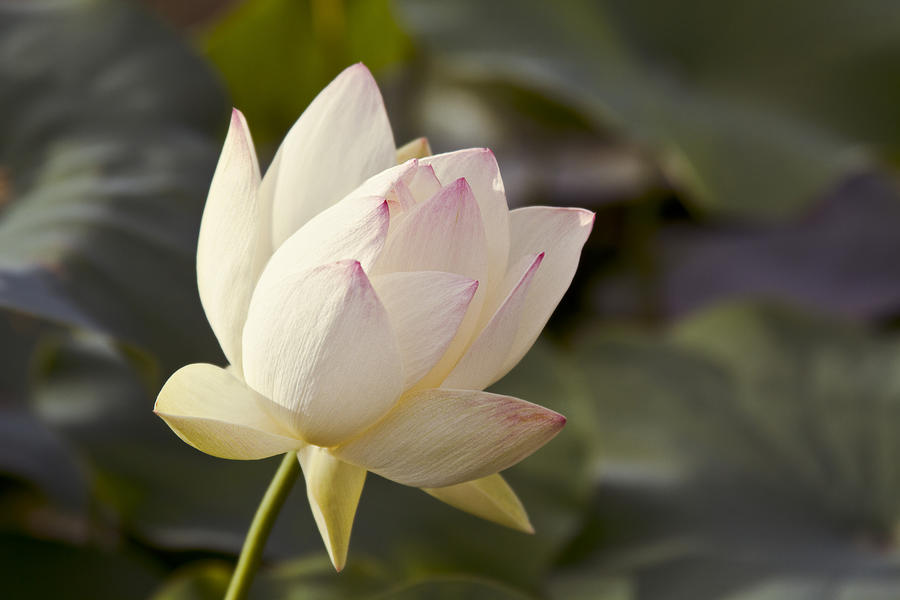 The Sacred Lotus Photograph