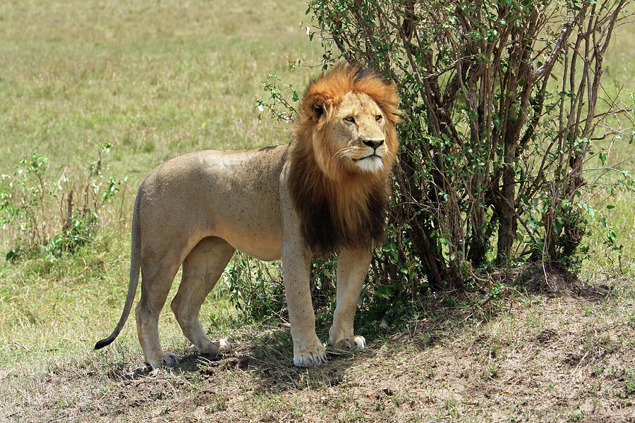 The Sentuary - Lions - Kenya Photograph