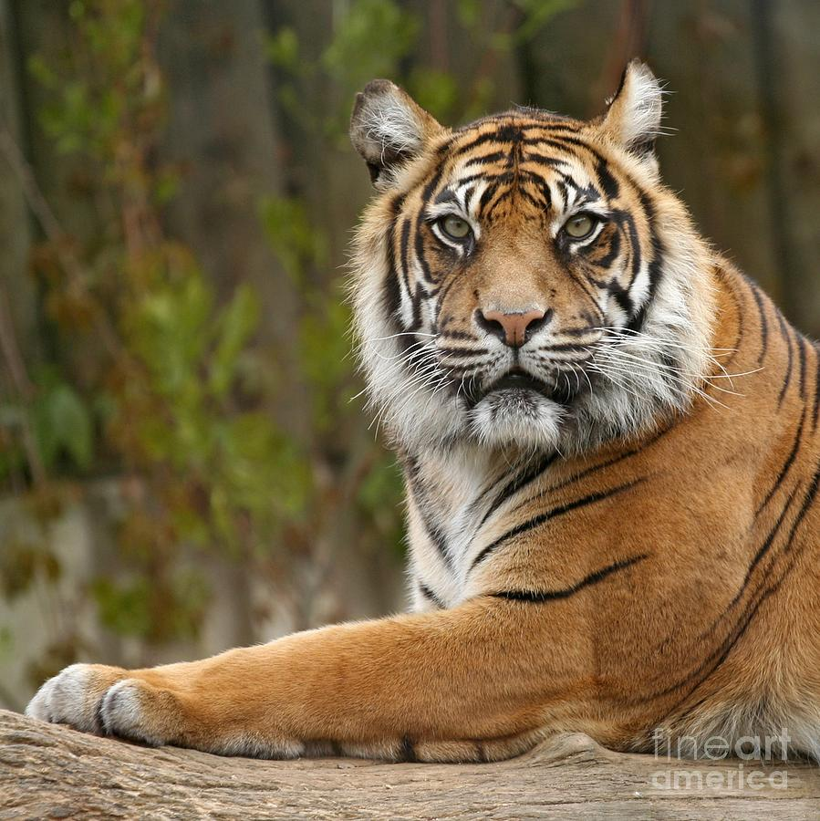 The Siberian Tiger Animal Photograph