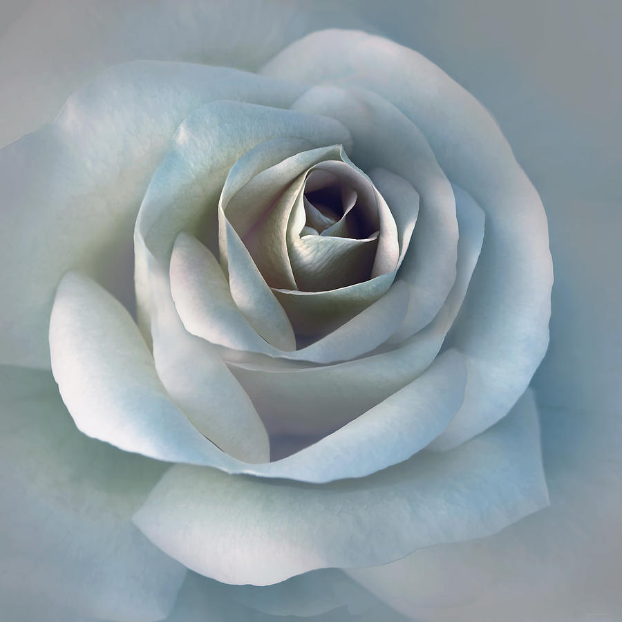 The Silver Luminous Rose Flower Photograph  - The Silver Luminous Rose Flower Fine Art Print