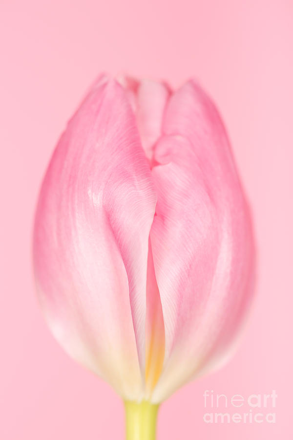 The Softness Of Pink Photograph