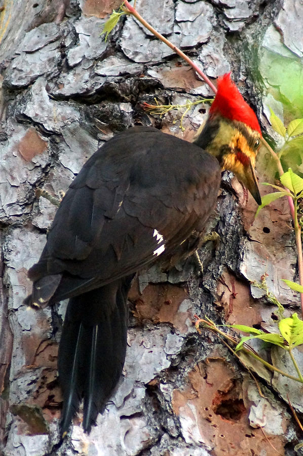 Digital Photography Photograph - The Southeastern Pileated Woodpecker by Kim Pate
