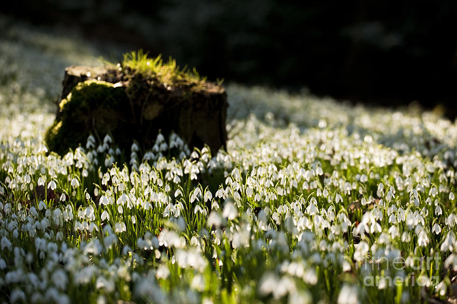 The Stump And The Snowdrops Photograph  - The Stump And The Snowdrops Fine Art Print
