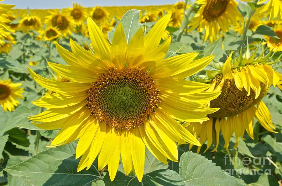 The Sunflower Photograph