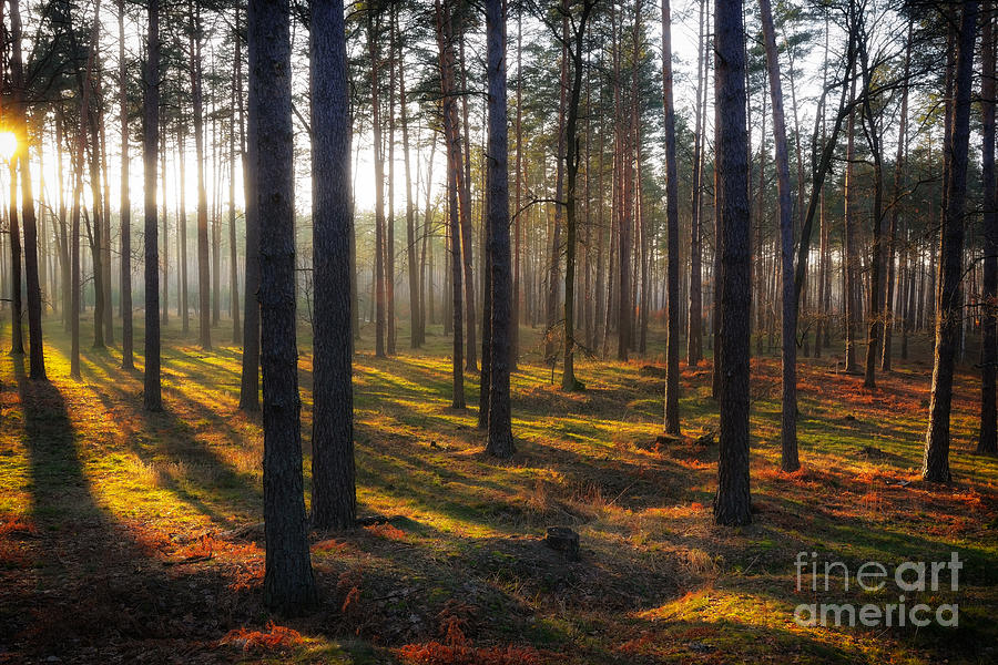 The Sunny Forest Photograph