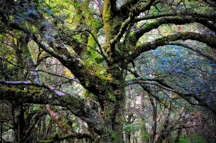 The Tree Of Wisdom. Nature Of Ireland Photograph  - The Tree Of Wisdom. Nature Of Ireland Fine Art Print