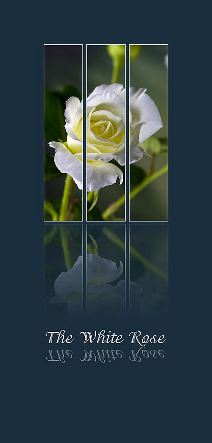 The White Rose Photograph  - The White Rose Fine Art Print