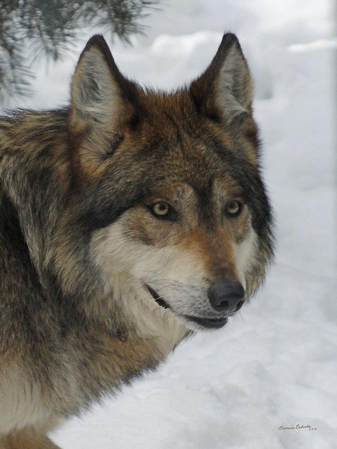 The Wolf 2 Digital Art