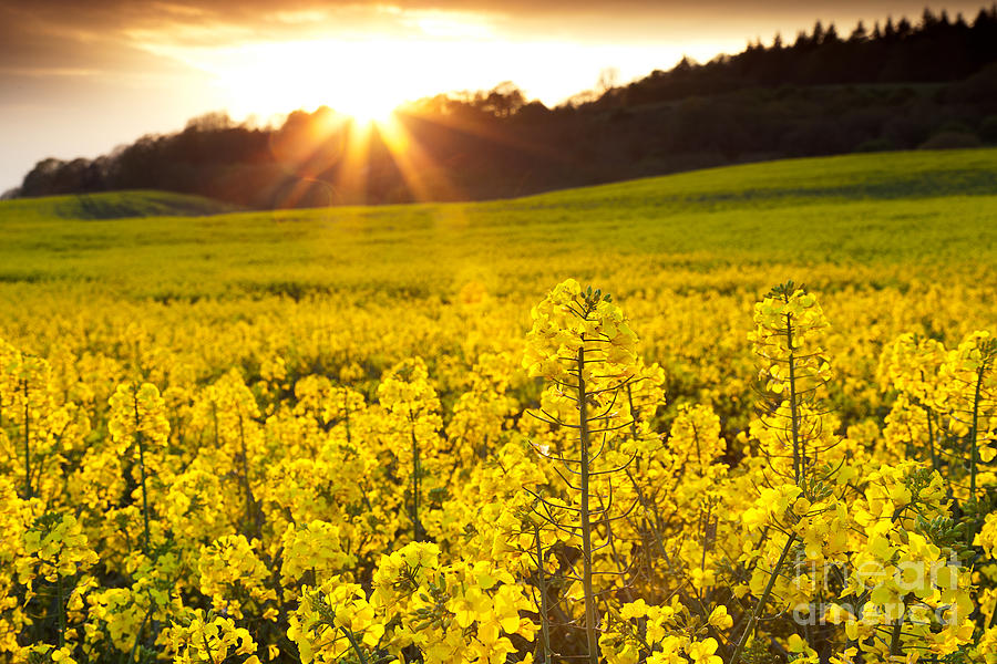 The Yellow Rapeseed Field Beautiful Photograph