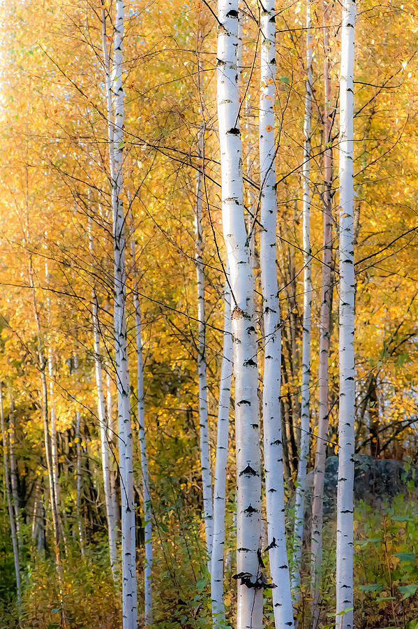 Thin Birches Photograph  - Thin Birches Fine Art Print
