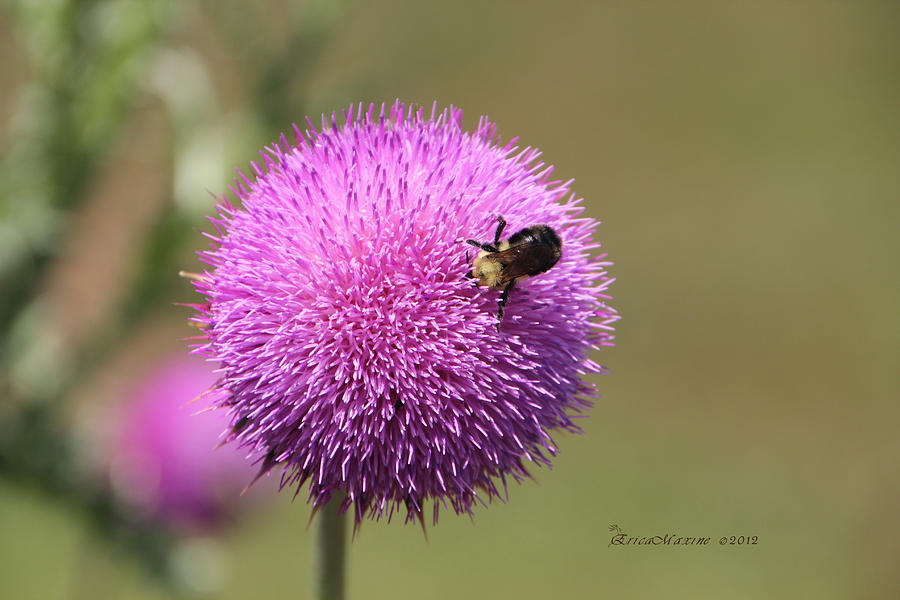 Thistle - Featured In Comfortable Art And Nature Wildlife Groups Photograph