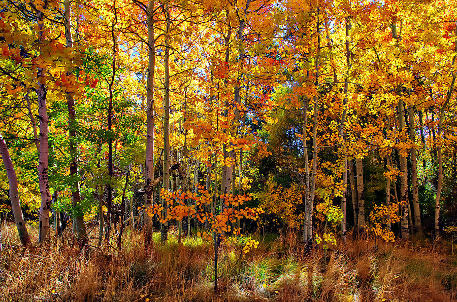 Aspen Trees Photograph - Thomas Creek Fall Color by Scott McGuire