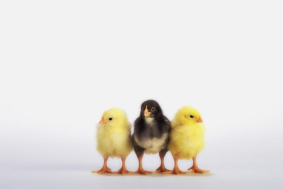 Three Baby Chicks In A Rowbritish Photograph
