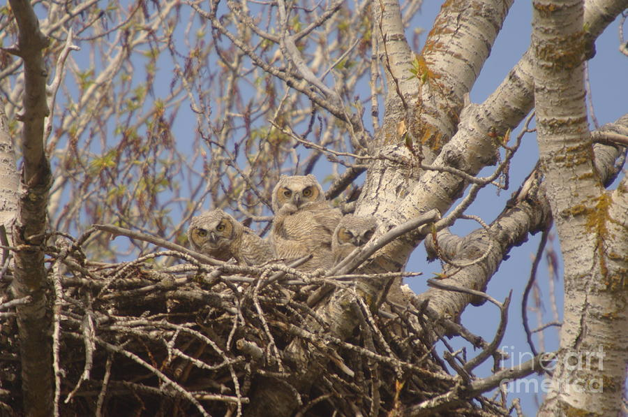Owls Photograph - Three Baby Owls  by Jeff Swan