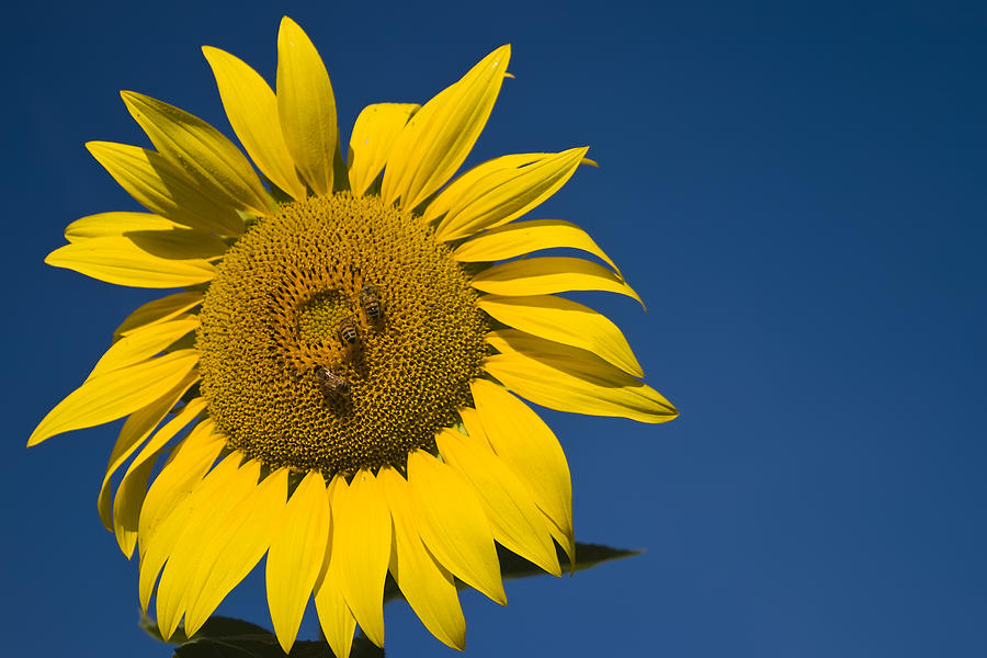 3scape Photos Photograph - Three Bees And A Sunflower by Adam Romanowicz