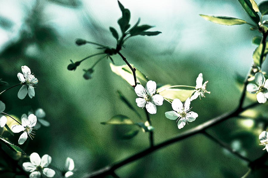 Three Cherry Flowers - Featured 3 Photograph