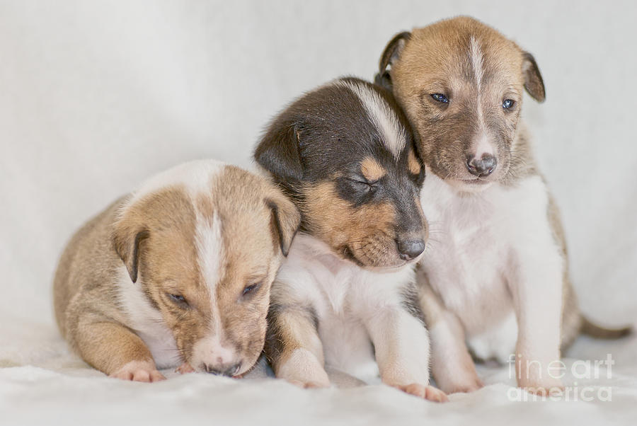 Puppy Photograph - Three Collie Puppies by Martin Capek