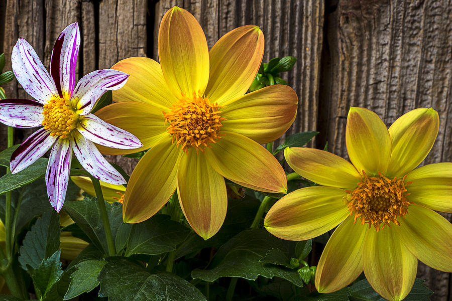 Fireworks Dahlia Photograph - Three Dahlias by Garry Gay