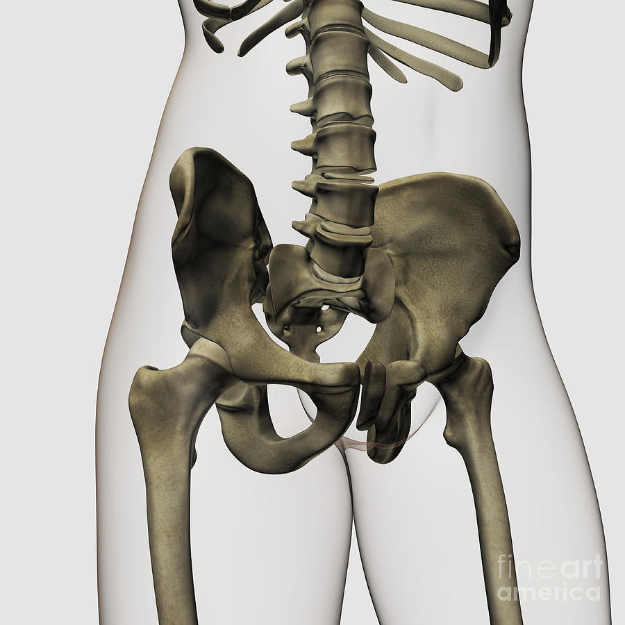 Three Dimensional View Of Human Pelvic Digital Art