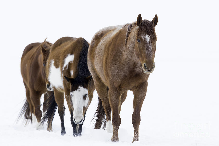 Three Horses Walking Through The Snow Photograph
