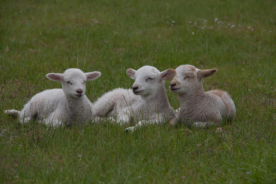 Charleston Photograph - Three Lambs by Richard Baker