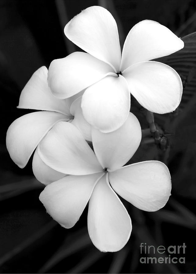 Three Plumeria Flowers In Black And White Photograph