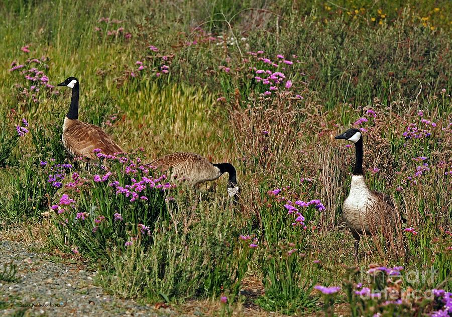 Susan Wiedmann Photograph - Three Quiet Canada Geese by Susan Wiedmann