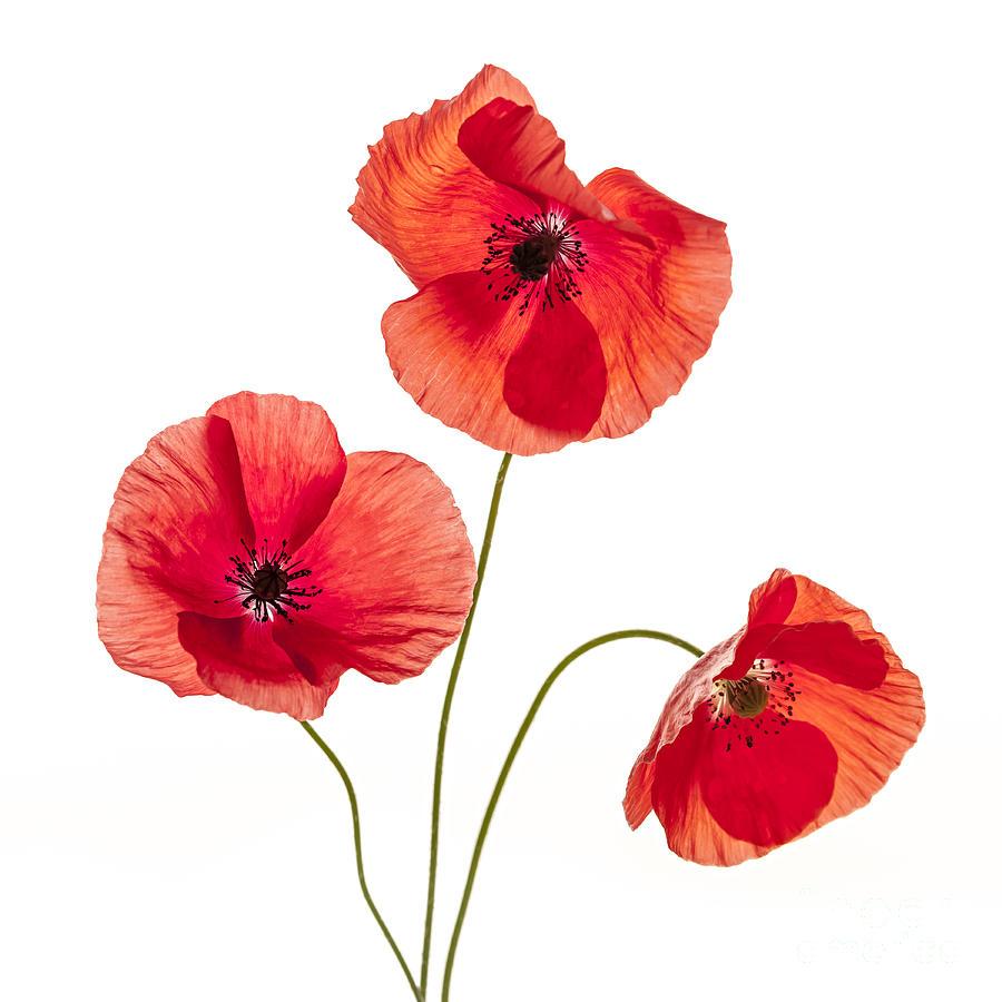 poppy red background - photo #45
