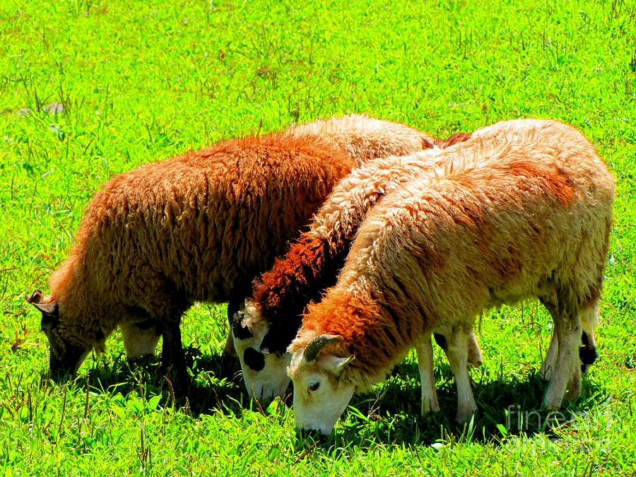 Three Sheep Photograph