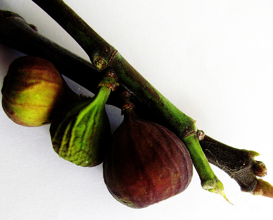 Fig Photograph - Three Stages Till Fully Ripe by Tina M Wenger