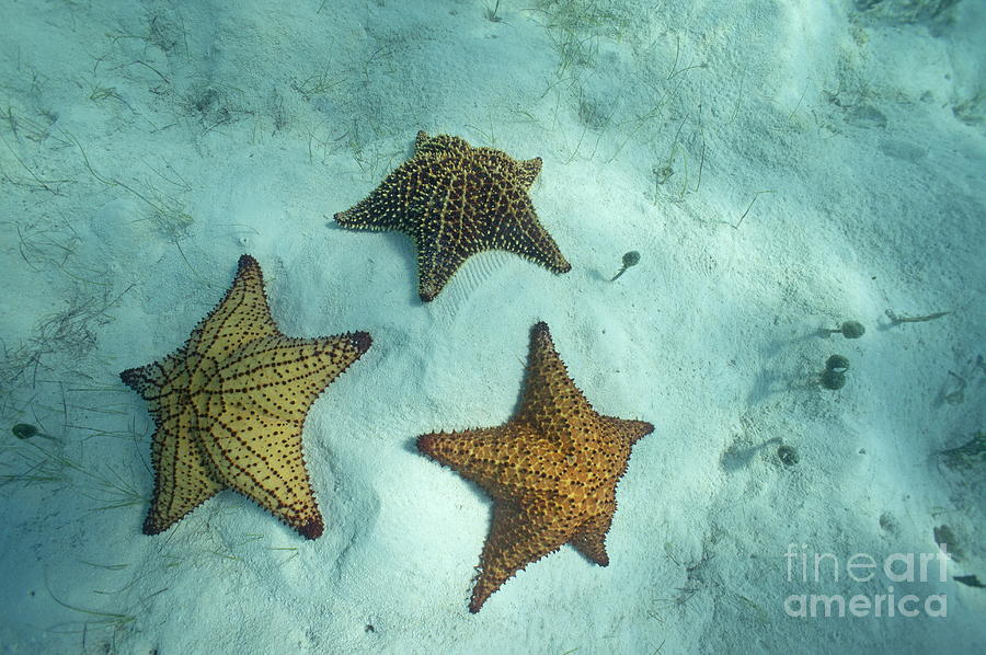 Three Starfishes On Sandy Seabed Photograph