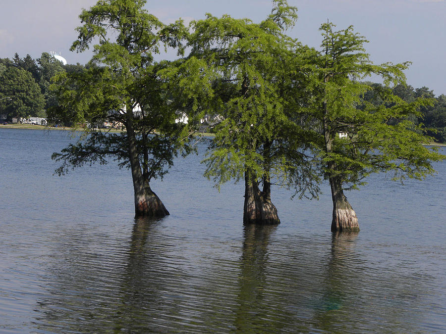 Three Trees Photograph