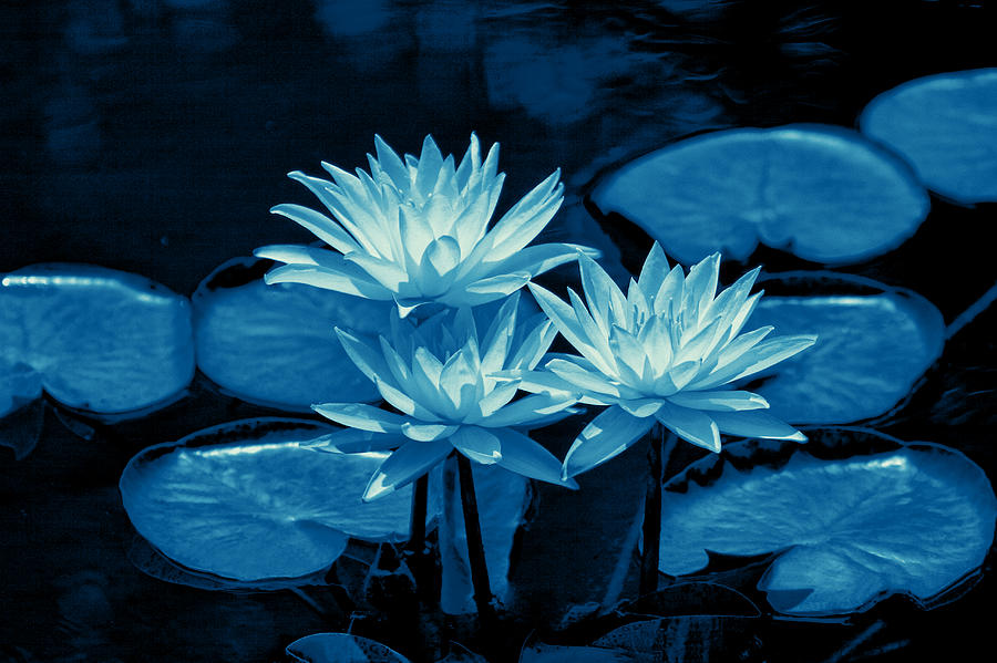 Three Water Lilies In Cyan Photograph  - Three Water Lilies In Cyan Fine Art Print
