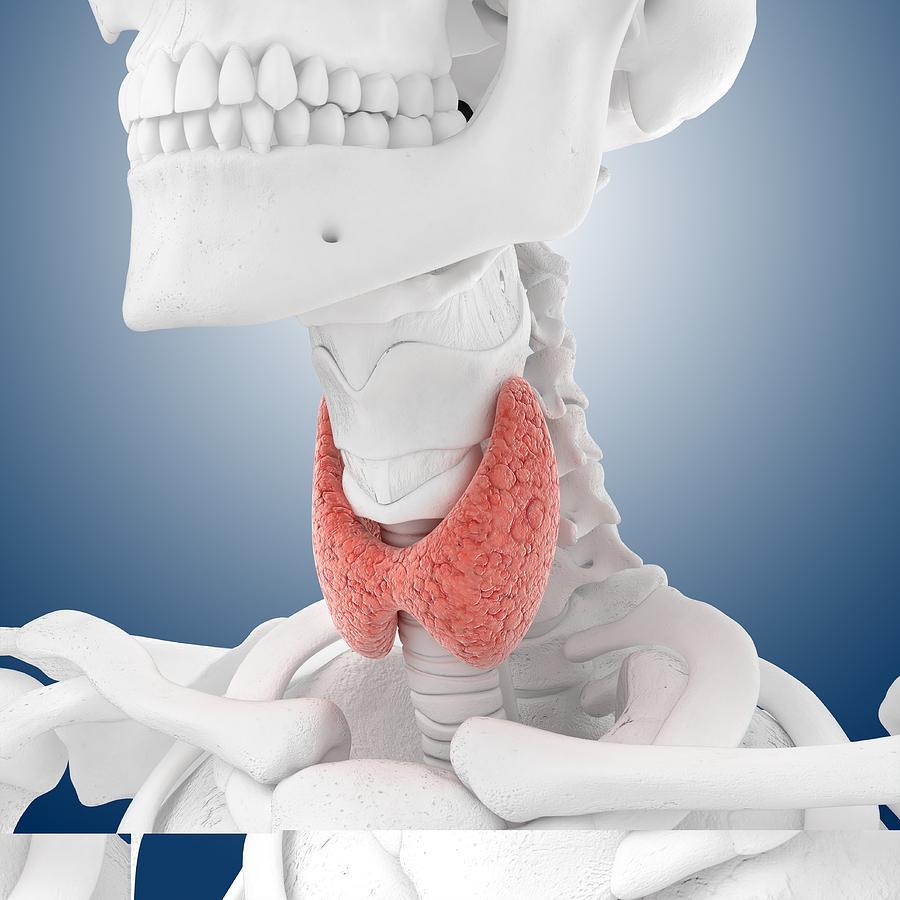 Thyroid Anatomy, Artwork Photograph