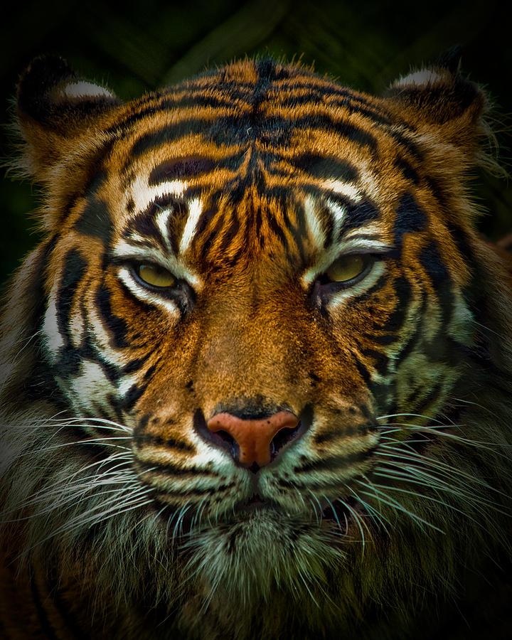 angry tiger eyes wallpaper - photo #26