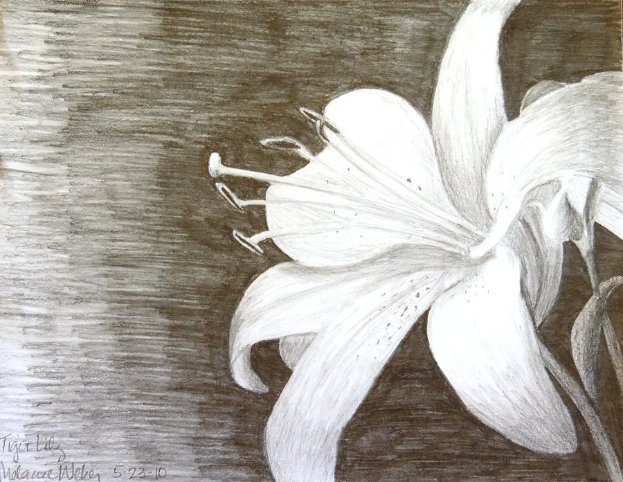 Tiger Lily Drawing by Melanie Weber