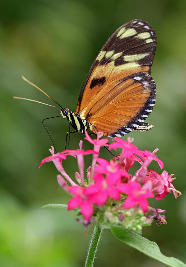 Tiger Longwing Photograph