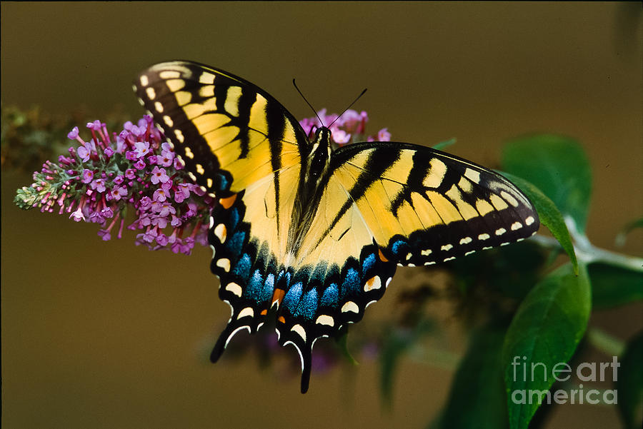 Tiger Swallowtail Butterfly Photograph