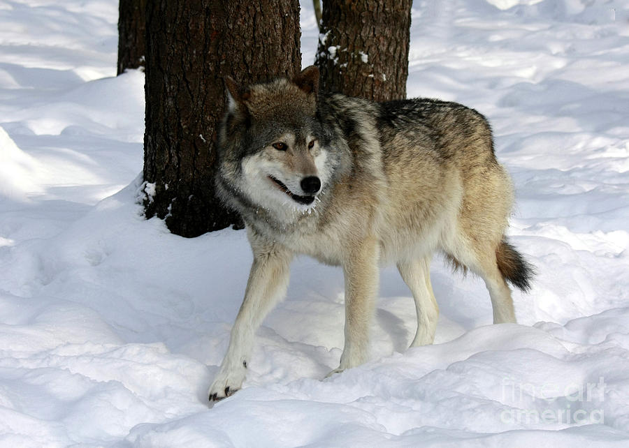 Timber Wolf In A Winter Snow Storm Photograph