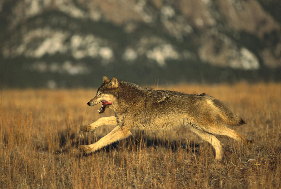 Timber Wolf Running Photograph By Konrad Wothe