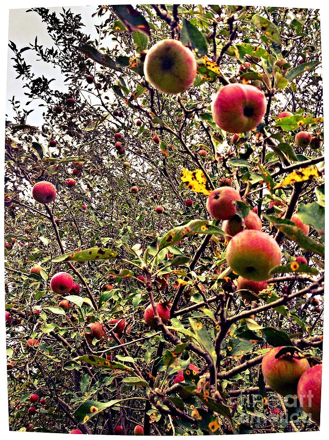 Time To Pick The Apples Photograph