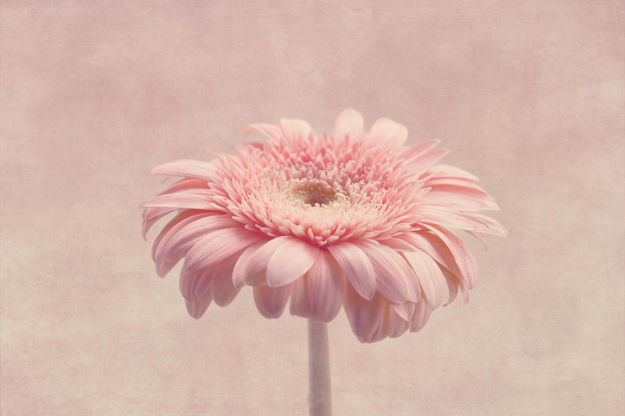 Pink Flower Photograph - Timeless by Kim Hojnacki
