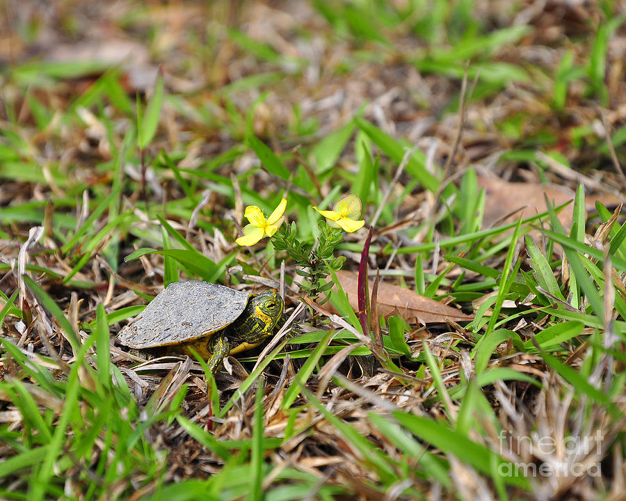 Turtle Photograph - Tiny Turtle by Al Powell Photography USA