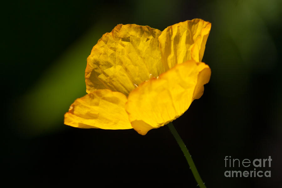Yellow Photograph - Tissue Paper Petals by Jennifer Apffel